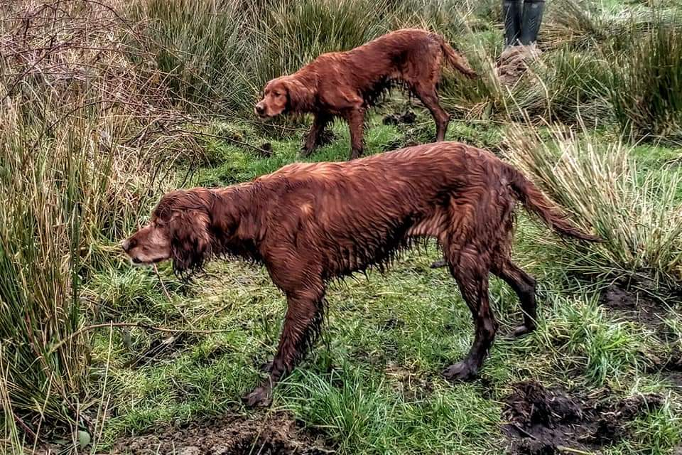 Irish Setter Pups Due June 2020