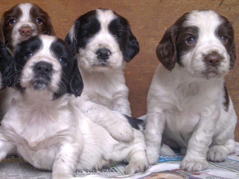 English Springer Spaniel Pups Due Late June 2020